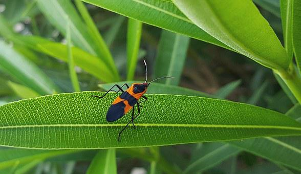 Large Milkweed Bug, Bug, Insect, Black And Orange, Leaf