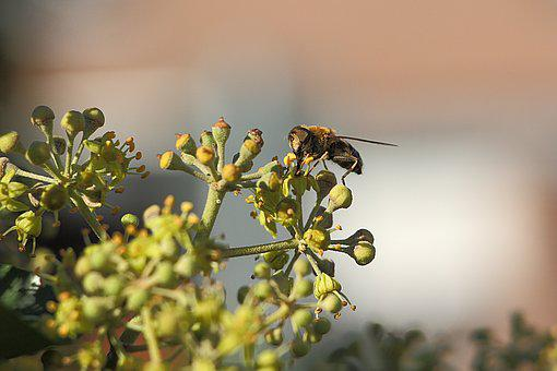 Wasp, Insect, Close, Nature, Animal, Field Wasp, Ivy