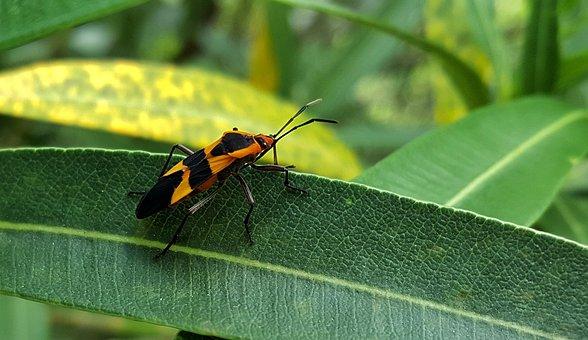 Large Milkweed Bug, Bug, Insect, Black And Orange, Leaf