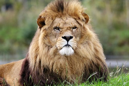 Lion, King, Animal, Cat, Feline, Pride, Leader