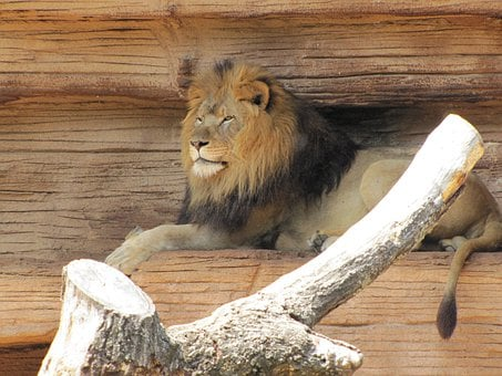 Lions, Zoo, Animals, Mammals, Male, Furry, Resting