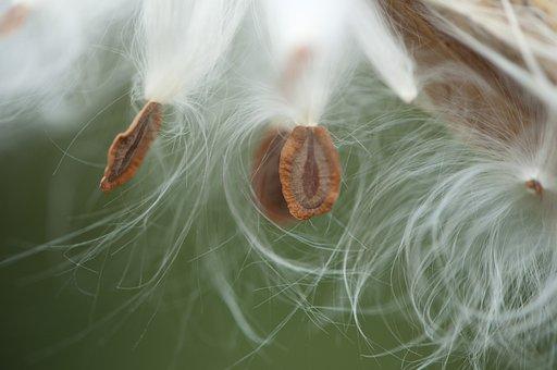 Milkweed Pod, Milkweed Seeds, Macro, White, Wildflower
