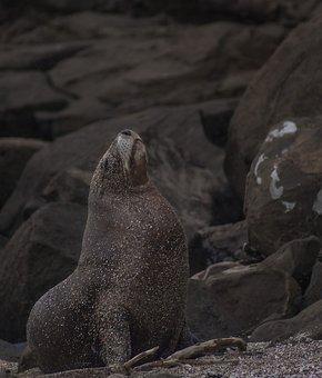 Sea Lion, Majestic, Nature, Wild, Proud, Pride, Sea