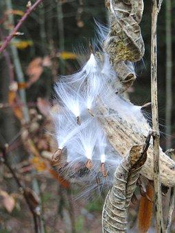 Milkweed, Seeds, Dried, Pod, Dead, Brown, Autumn, Fall