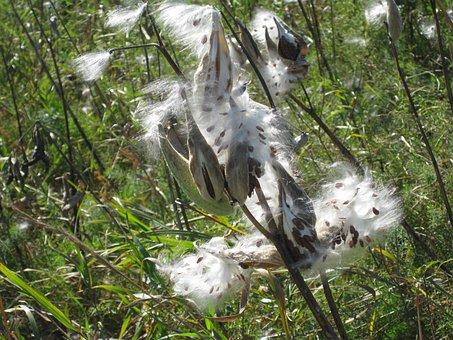 Milkweed, Seeds, Pod, Nature, Fall