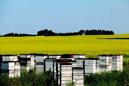 Canola, Field, Yellow, Bees, Hives, Nature, Landscape