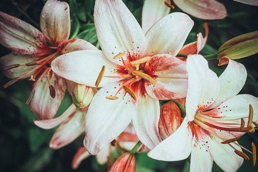 Lily, Rosa, Flower, Flowers, Nature, Summer, Beautiful