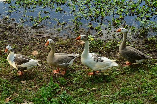 Geese, Nature, Row, Feathers, Fauna, Parade, Animals