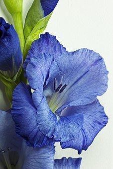 Gladiolus, Purple, Flower, Purple Flower, Nature