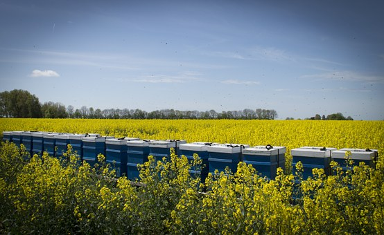 Bees, Rapeseed, Nature, Rapeseed Field, Hive, Groningen