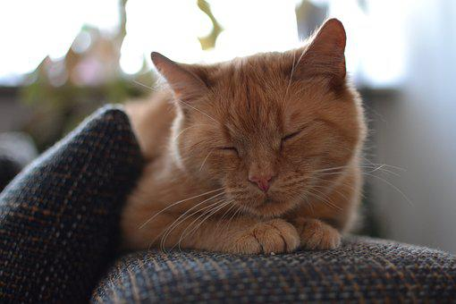 Cat, Ginger, Sleeping, Pet, Cute, Red Fur