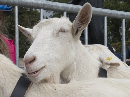 Goat, Cattle Show, Happy, Satisfied, Nature, Alpine
