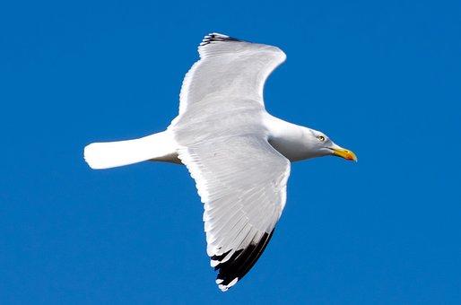 Seagull, Bird, White, Sea, Gull, Sky, Background