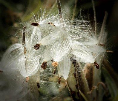 Milkweed, Seed Pods, Seeds, Follicles, Pappus, Silk