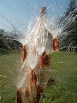 Flower, Milkweeds, Silky, White, Plants, Growing