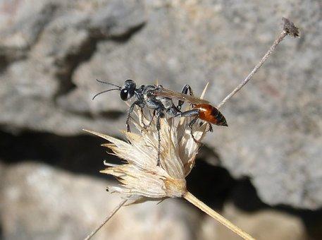 Sapper Wasp, Wasp, Sting, Ammophila Hirsuta, Dry Flower