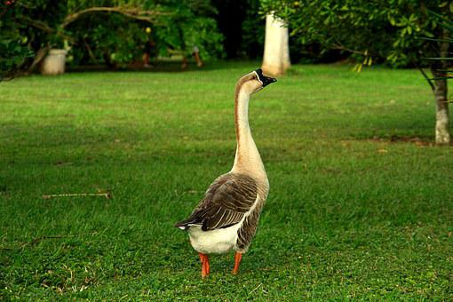 Goose, Ave, Field, Nature, Fauna, Royalty, Unit, Happy