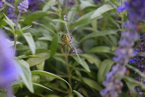 Wasp Spider, Plant, Green