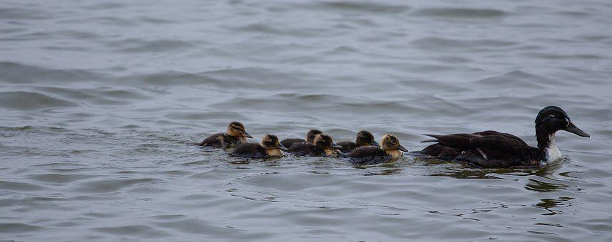 Baby Ducks, Duckings, Mallard, Female Duck, Duck