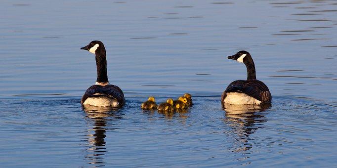 Geese And Goslings, Geese, Goslings, Baby Geese