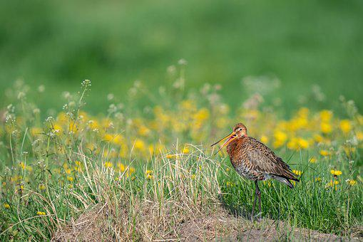 Black-tailed Godwit, Limosa Limosa, Bird, Avian, Nature