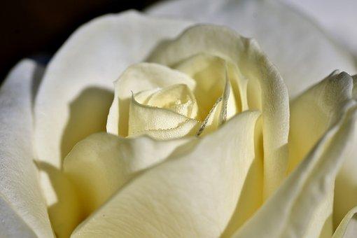 Rose, Rose Bloom, Blossom, Bloom, Floribunda