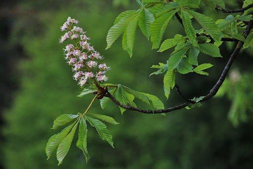 Sprig, Blooming, Chestnut, The Freshness, Branch