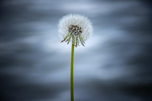 Dandelion, Flower, Blue, Nature