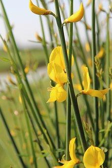 Broom, Broom Yellow, Scotch Broom, Flowers, Shrub