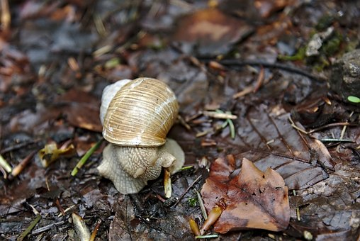 Snail, Shell, Leaves, Edge Of The Woods, Brown, Mollusk