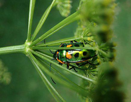 Insect, Jewel Beetle, Bug, Plant, Garden, Nature