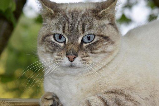 Cat, Cat Blue Eyes, Animal, Feline, Whiskers, Cute
