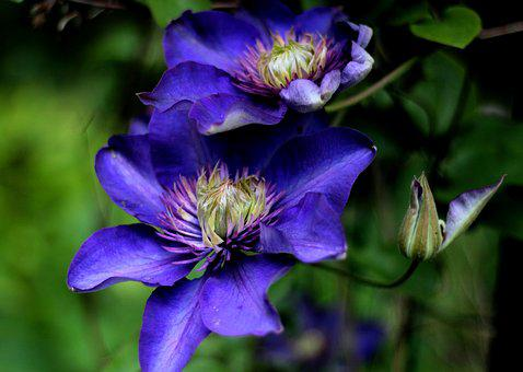 Clematis Multi Blue, Climber, Blue, Flowers, Clematis