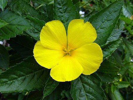 Damiana, Turnera Diffusa, Yellow, Flower