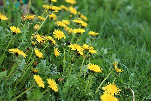 Dandelions, Yellow, Nature, Flower, Spring, Meadow