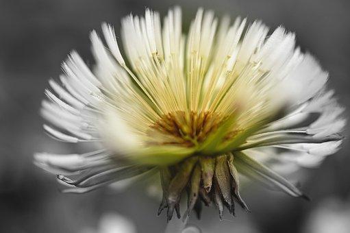Dandelion, Dandelion Flower, Seeds, Dewdrop, Dew