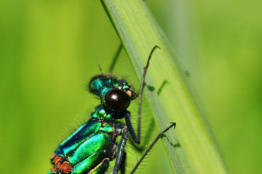 Banded Demoiselle, Demoiselle, Insect, Dragonfly