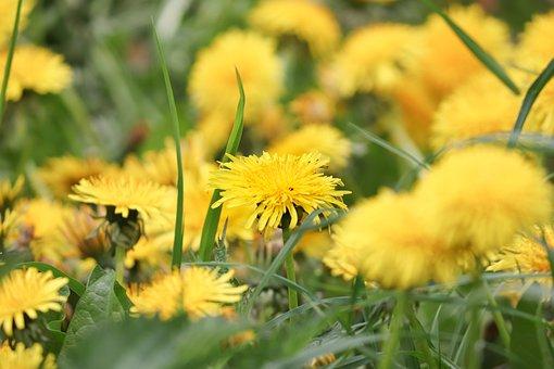 Dandelion, Flowers, Bloom, Field, Blossom Field