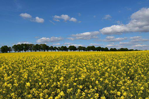 Field Of Rapeseeds, Oilseed Rape, Sky, Yellow, Nature