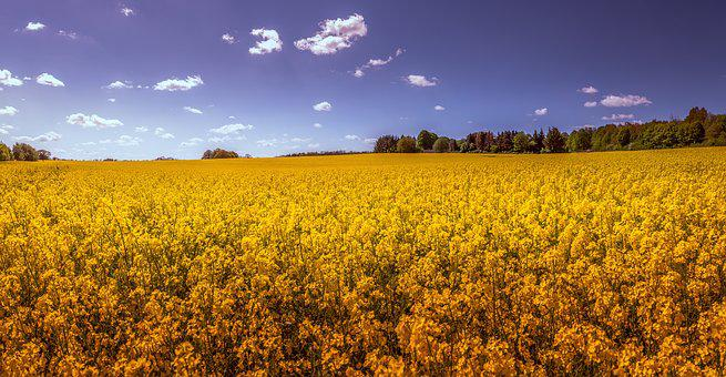 Oilseed Rape, Field, Landscape, Yellow, Spring, Nature