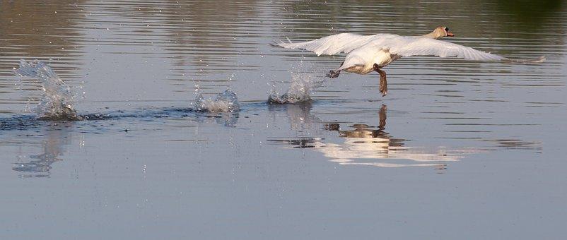Swan Taking Flight, Swan, White Bird, Flight