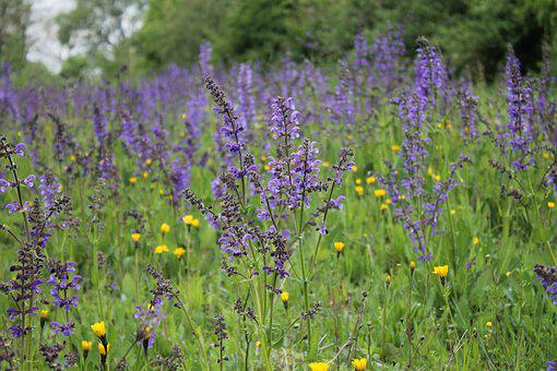Flower Meadow, Wild Sage, Wildflowers, Blühwiese