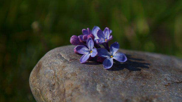 Nature, Plants, Flowering, Violet, Without, Stone