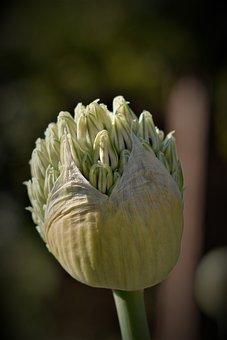 Ornamental Onion, Blossom, Bloom, Flowers, Bud, Blossom