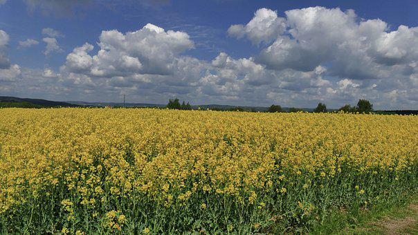 Rapeseed, Oil, Flowers, Spring, Fragrant, Yellow