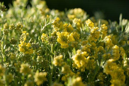 Plant, Flowers, Yellow, Cushion Flowers, Garden