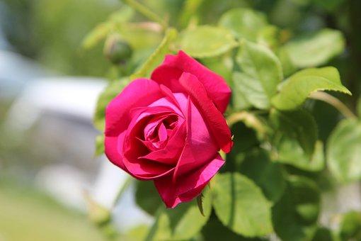 Pink, Rosebush, Red Rose, Flower, Roses, Garden, Red