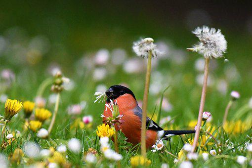 Bullfinch, Food, Eat, Gimpel, Red, Bird, Males, Animal