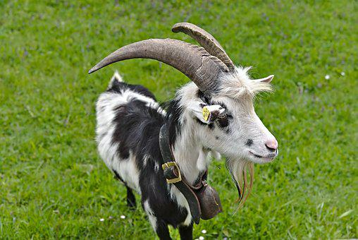 Goat, Horns, Meadow, Scheckig, Black And White