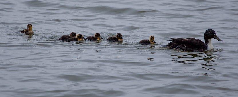 Duck And Ducklings, Mallard, Hen Mallard, Hen
